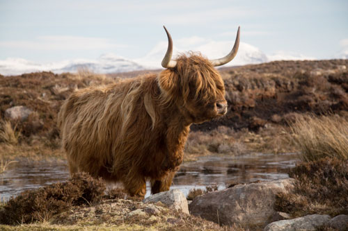 Highland Cow Surveying Her Domain