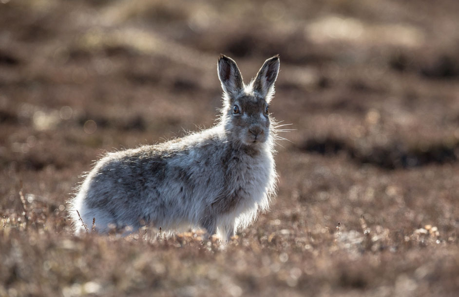 Mountain Hare One