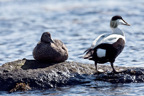 Eider Ducks-A6 Greetings Card-Landscape