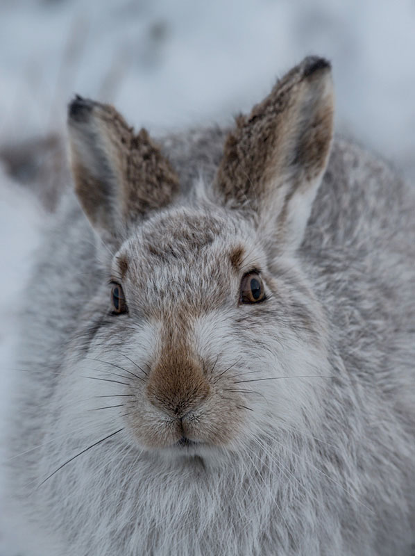 Mountain Hare A6 Greetings Card - Portrait