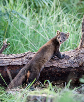 Pine Marten on Log-A6 Greetings Card-Portrait