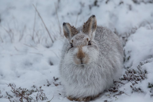 Mountain Hare Resting Comfortably