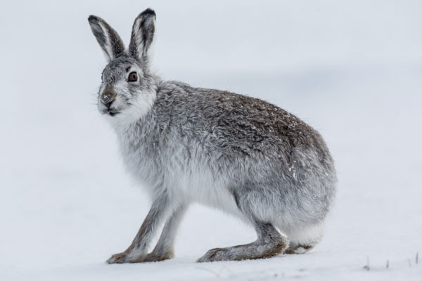 Mountain Hare Sitting in Snow