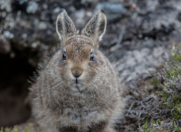 Mountain Hare Leveret Three