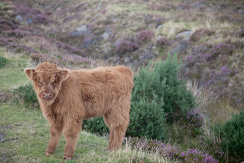 Highland Calf-A6 Greetings Card - Landscape